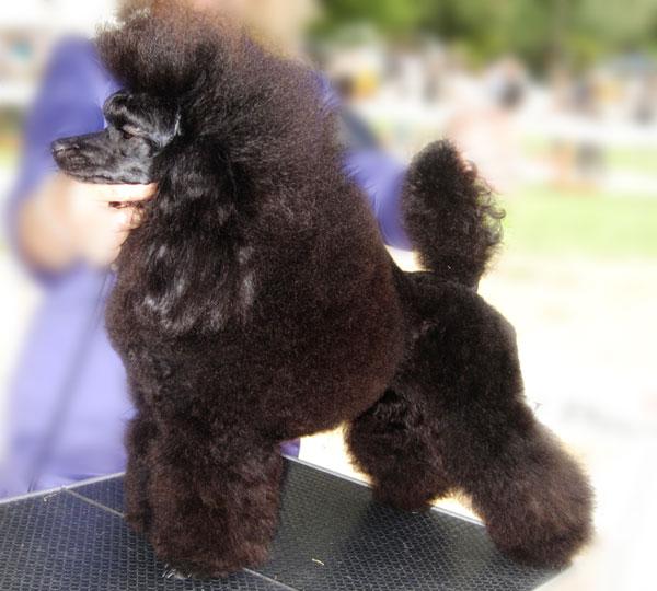 SHARIZADE-fashion-poodle